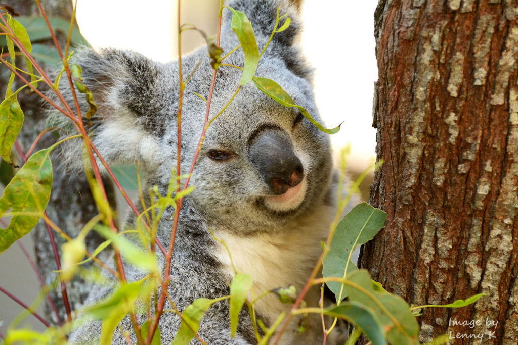 Another photograph captured using the Nikon 70-300mm but this time of a Koala bear captured at the mid-zoom range capabilities of the lens also offering a good example of the type of image quality the lens can offer your d3100.