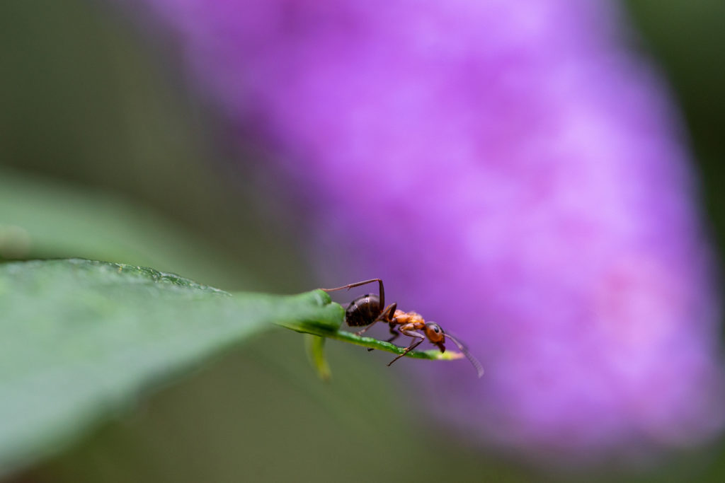 One of our favourite macro photographs of an ant that was captured with the Sony FE 90mm it does a great job of showing the level of detail the lens can pick up as well as the image manipulation it offers you.