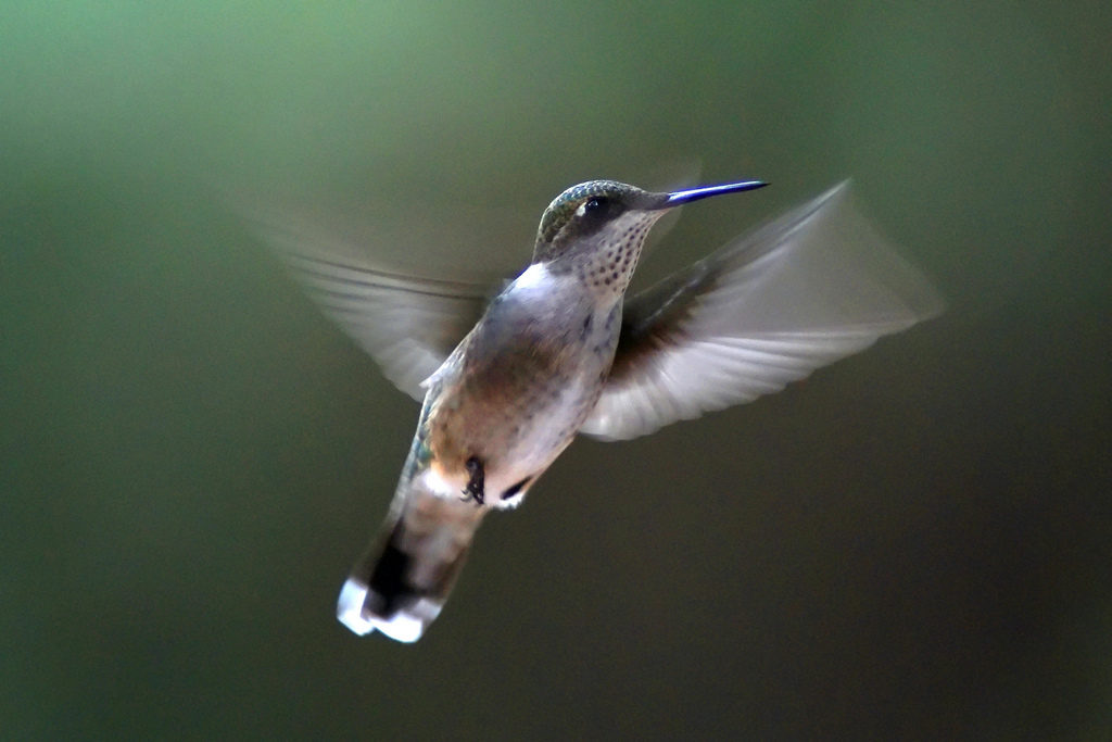 A photograph of a bird in flight that was captured using the Tamron 70-300mm shows the level of detail the lens can capture when at higher zoom ranges on a fast moving subject.
